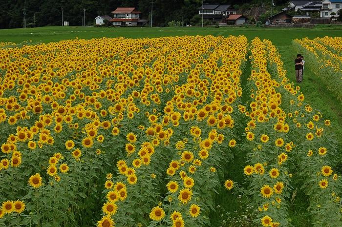 君田のひまわりといえば、西日本有数の規模をもつひまわり畑として有名です。5会場に分かれた畑には、およそ100万本ものひまわりの花が咲き誇ります。