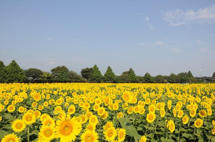 座間市ひまわり畑といえば、関東でも有数のひまわりの名所です。植えられているひまわりの数はなんと55万本。会場は栗原会場(10万本)・座間会場(45万本)の2か所に分かれていて、それぞれ開花時期にズレがあるので注意してください。