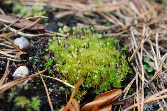 タマゴケ タマゴケ科のコケで、丸い朔(さく)(胞子嚢)がキュート。朔は熟すと褐色になります。山地の湿った地上や、岩上に生え塊上の群落を作ります。可愛い姿でテラリウムなどにも使われます。