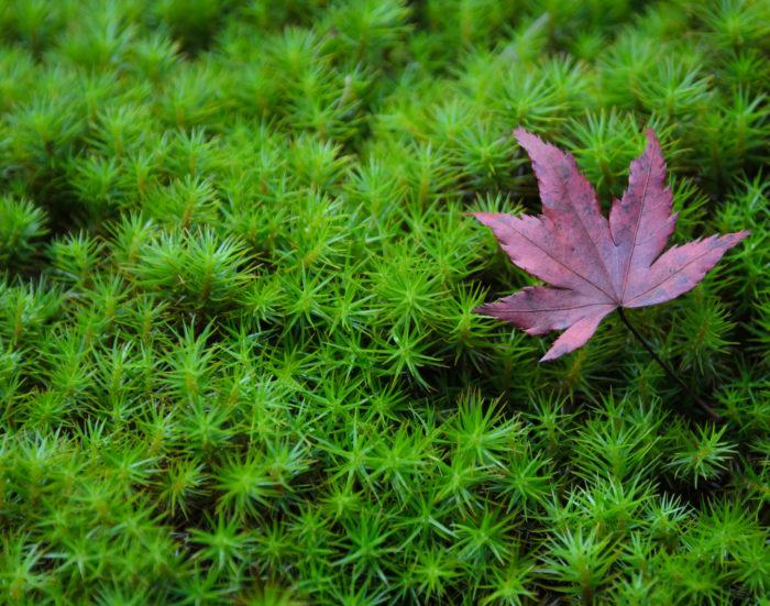 スギゴケ スギゴケ科のコケで、コケというよりも他の植物のようです。群生する様子は、小さなスギの木を思わせます。