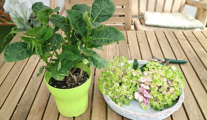 アジサイ 育て 方 鉢植え