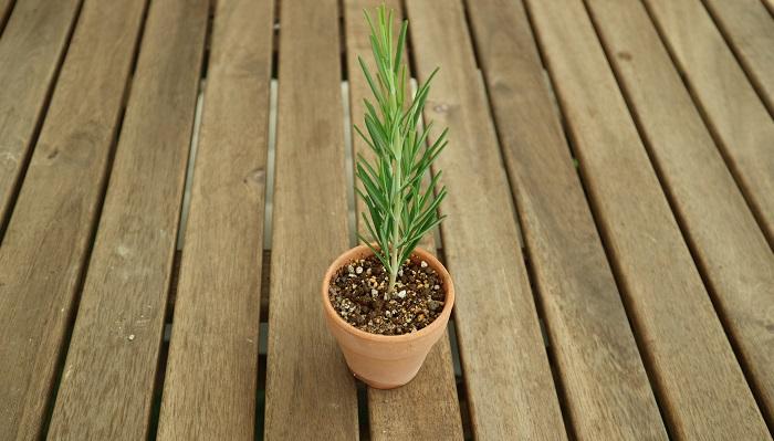 水に浸けておいたローズマリーの枝を土に挿します。指で穴をあけなくても、簡単に挿せますよ! 植えた後は水をたっぷり与えておきます。   そのまま約1カ月ほど水やりをしながら様子を見て、新しい芽が生えてきたり、挿し木用のトレーなどを使用した場合は下から根が出てきたら、挿し木に成功したということです!