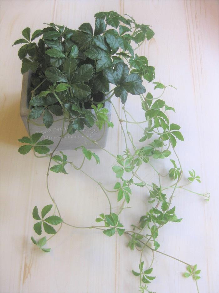 シュガーバインはブドウ科の常緑つる性植物です。寒さにはあまり強くありません。また、強い直射日光も苦手です。ある程度の耐陰性はあります。  5枚の葉っぱが丸く並んで垂れ下がる姿が可愛らしく、明るくナチュラルな雰囲気でどんなインテリアにもよく似合います。
