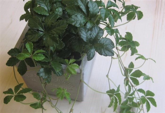 シュガーバインはブドウ科の常緑つる性植物です。寒さにやや弱く、強い直射日光も苦手ですが、ある程度の耐陰性はあります。  5枚の葉っぱが丸く並んで垂れ下がる姿が可愛らしく、明るくナチュラルな雰囲気でどんなインテリアにもよく似合いとても人気があります。