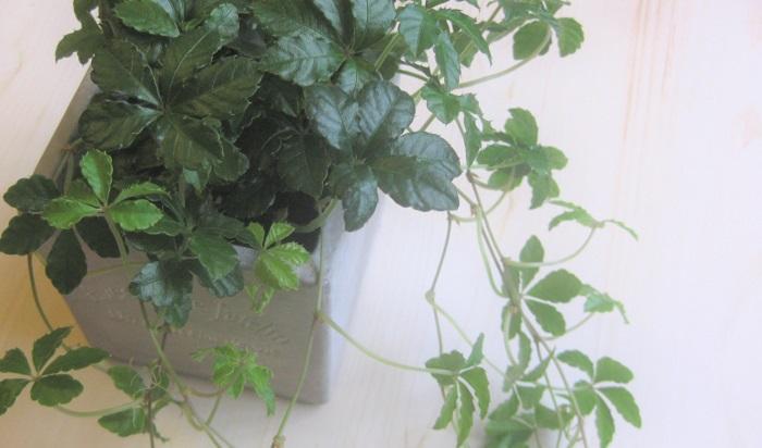 観葉植物の癒やし効果でリラックス:シュガーバイン