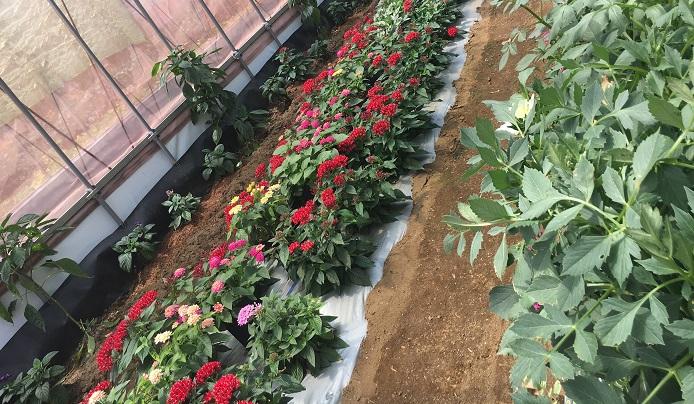 農薬を全く使用せずに綺麗な野菜やお花を作るのは、ものすごく大変な事。しかし、そこは横山さんの腕であり、試行錯誤し苦労された結果です。オーガニック栽培されているお花はすべて綺麗な状態でした。