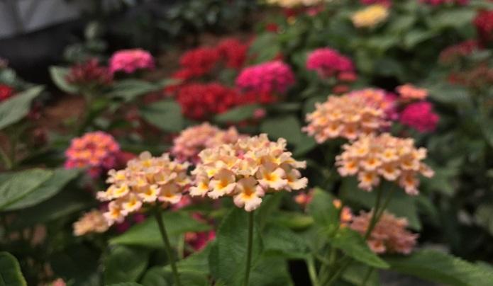 ▼エディブルフラワーその2「ランタナ」 スパイシーな風味とランタナ独特の花の香りが口に広がります。