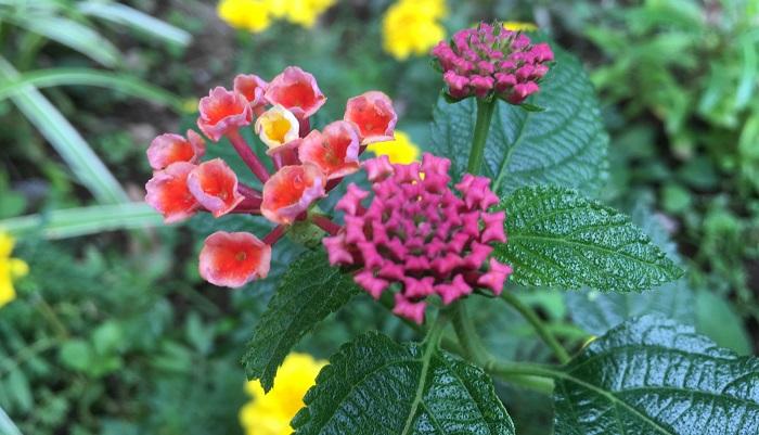 濃いピンクだった蕾も開いてくるとオレンジがかった花びらと黄色の花びら!