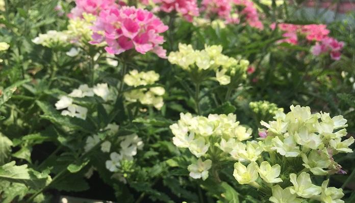 ▼エディブルフラワーその6「バーベナ」 なんと松原園芸さんの育種されたバーベナ。蜜があり、甘みがあるお花です。