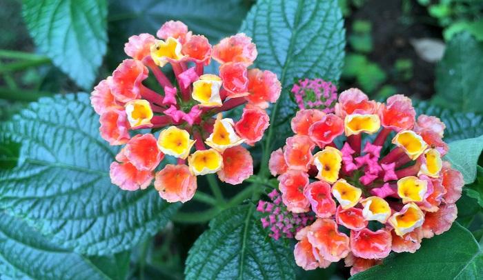 さらに開花すると1つの花なのに色とりどり。一鉢あるだけでもお庭やベランダを華やかにしてくれますね。