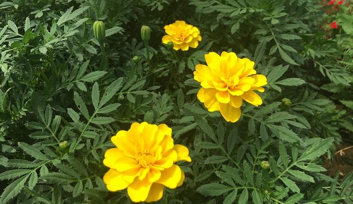 変わりますね。土づくりから光の管理、水やりと全部に影響します。そこは野菜作りに精通しており、作り手によって美味しい野菜があるなら美味しい花も作れるはず、と、植物の本質から突いていくことで味にこだわれる様になりました。  あと、お花の品種や色によっても味は異なります。例えば、ダリアのこの品種は美味しいとか、苦いなど同じ品種でも色や種類によって違いがあるんですよ。カレンデュラ、マリーゴールドなど色素が多い方が栄養があり、味も濃い傾向にあります。  土に関しては動物性堆肥に頼りすぎると肥満体になり、虫にやられやすくなってしまうので有機肥料でじっくり育てます。  植物自体が持っているポテンシャルと作り方、この2つで味の違いが現れますね。