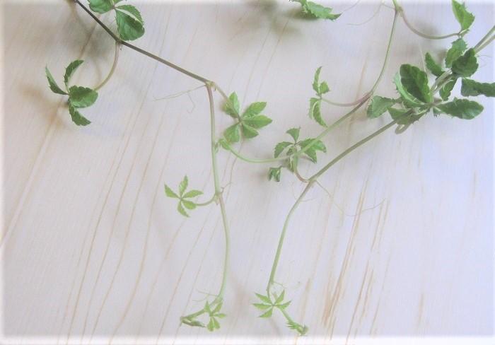 シュガーバインは、伸びたつるの先に出てくる小さな葉っぱもとても可愛くて魅力的です。
