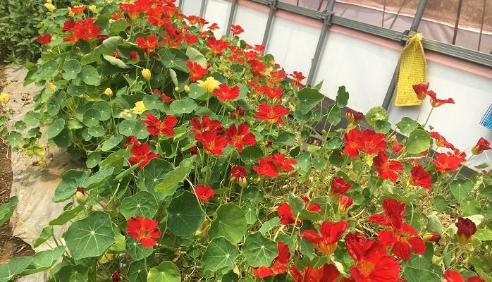 ▼エディブルフラワーその7「ナスタチウム」 割とポピュラーなのではないでしょうか、わさびのような辛味のあるお花です。