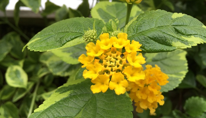 我が家のランタナは葉にライムグリーンの斑の入る黄花の「ランタナ・アロハ(ヴァリエガタ)」。咲き始めは白~薄黄緑の蕾だったものが黄色に色づいて咲きます。