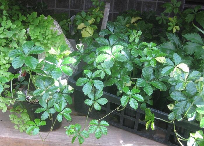 シュガーバインは、園芸店のカラーリーフコーナーや、室内で育てる観葉植物のコーナーでよく見かけます。葉につやがありイキイキとしていて、株もとから葉がふんわりと茂っている元気なポットを選びましょう。シュガーバインを屋外で育てたい場合は、春から秋の暖かい季節であれば明るい日陰の場所で美しく育てることができます。強い直射日光が当たると葉焼けをおこして葉が茶色くなってしまうので注意して下さい。天気の良い日中に時々外の明るい日陰に出してあげると、風通しも良くなってシュガーバインの生育が良くなります。