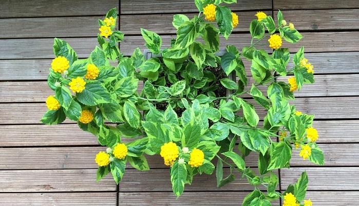 7月のランタナ。花が咲き始めました。北向きベランダなのでちょっと間延び気味です。根元の方に花が少ないのでここからまた切り戻しをしてもいいですね。