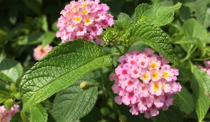 ランタナは、5~10月と開花時期が長いのも嬉しいポイントです。小さな花がてまり状にまとまって花火のように咲く姿は愛らしいです。