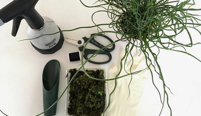 苔玉の材料 ・植物 くるくるな葉が魅力的なラセンイ  ・苔 今回は家にあった苔を使用しました。おすすめは管理のしやすいハイゴケ。園芸店などで販売されています。  ・苔玉用土 ケト土やピートモスがおすすめです。  ・ボウルやトレー  ・ゴム手袋 ケト土は黒く汚れが取れにくいのであると便利です。  ・ハサミ  ・糸 目立たないよう黒がおすすめです。木綿糸や麻紐は時間の経過とともに自然に溶けるので苔が根付いた時に自然な仕上がりになります。