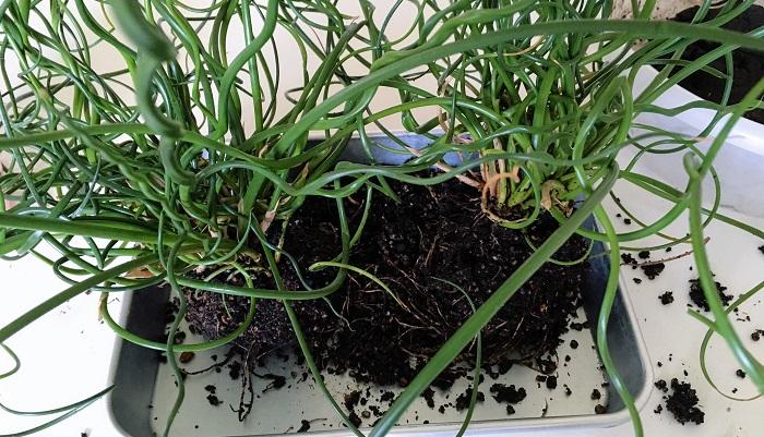④植物の根鉢の整理。今回のラセンイは根も回り過ぎていたので2つに株分けし、