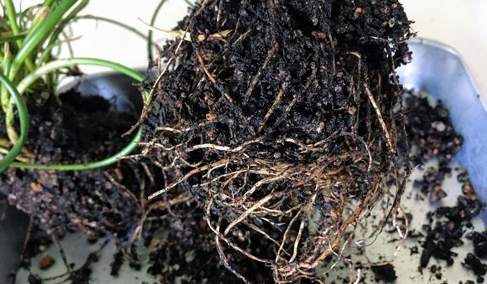 根を切り整理しました。根がまわってないものはポットから取り出して手で根鉢を軽く丸めます。