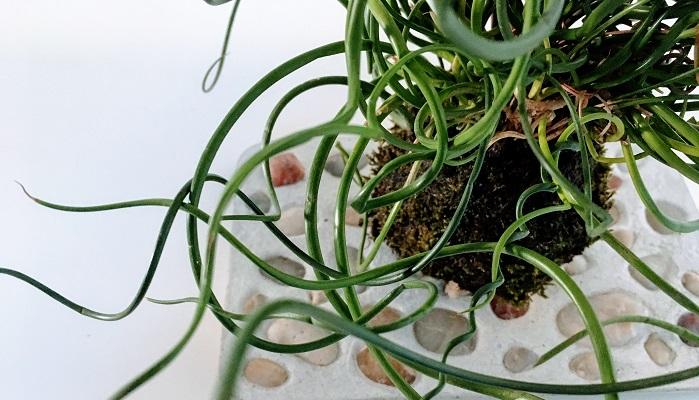 まん丸とした形に苔の瑞々しさ、インテリアにもなる苔玉の作り方などのご紹介でした。苔玉を眺めているとその小さな世界の中に自然界の一部を垣間見る事が出来て癒し効果もありますね。 ホームセンターなどで必要な材料は揃うので気になった方はぜひ苔玉作り、チャレンジしてみてくださいね。