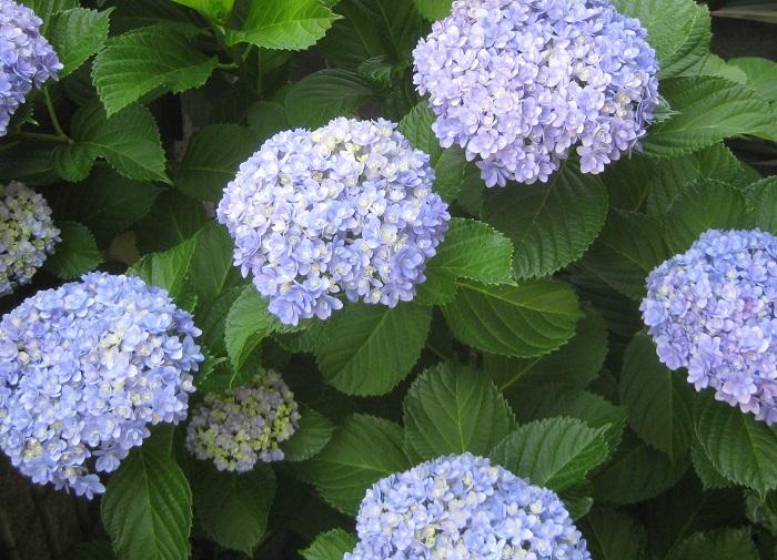 通常、アジサイの切り戻しの適期は、花後の6月上旬~7月下旬です。  アジサイの開花期は6~7月で、花が終わったらすぐ夏までに剪定します。夏以降に切ると翌年の花芽も切り落とすことになってしまい、翌年花が咲かないからです。  通常は、花の2節下の花芽が出ている上あたりでカットします。  株を大きくしていきたい場合は、花の1節下の花芽が出ている上あたりでカットし、花柄を摘むだけにします。  株を小さくしたい場合は、好きなサイズに刈り込むこともできますが、この場合、深く刈りすぎると翌年は花が咲きません。株を小さくすることを優先するため、翌年花が咲かないことを了解の上でカットしましょう。今年花が咲いた枝だけを短く刈り込み、花が咲かなかった枝はそのまま残すなど工夫してみるのもいいですね。