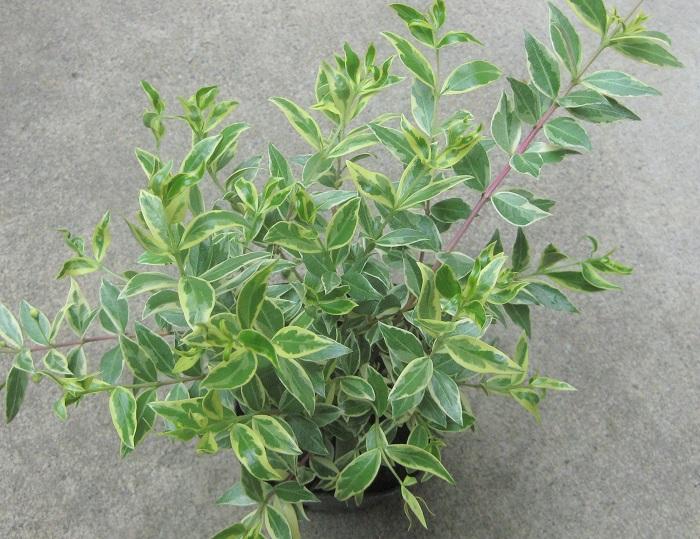 フイリギンバイカ 3ポット  フトモモ科 半耐寒性常緑低木 開花期5月~7月 観賞期周年 日なたと通気性の良い用土を好みます。白い花を咲かせます。