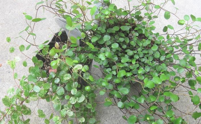 ワイヤープランツ 2種類 タデ科 耐寒性常緑木本 観賞期周年 日なた~半日陰、通気性の良い用土を好みます。