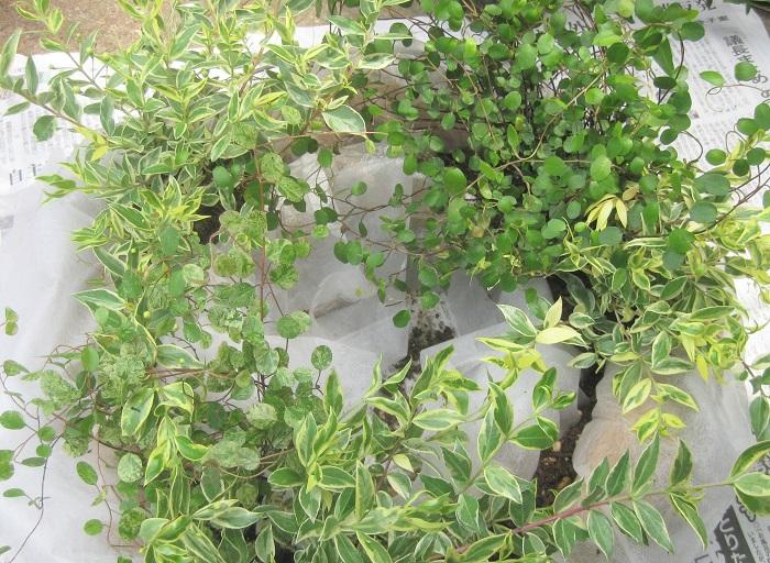 フイリギンバイカをポットからはずして、苗の肩(株元)の部分に枯葉などがある場合は取り除き、根を少し崩して植えていきます。フイリギンバイカ3ポットで三角ができるように配置します。  そして、ワイヤープランツ2種類を相対する場所に植えていきます。ワイヤープランツが株分けできそうな苗の場合は、株分けして数か所にちりばめてもいいですね。逆に株分けしにくそうな場合は無理に株分けしない方がいいでしょう。アイビーを植える場所として、三角形ができるように3カ所残しておきます。