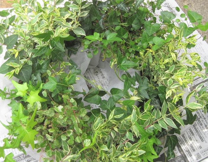 3つの束にしたアイビーを、残しておいた3カ所にそれぞれ植えます。