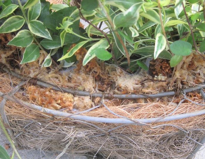 不織布を折り込んで見えないように隠しながら、その上に水苔を乗せていきます。外側から1周します。