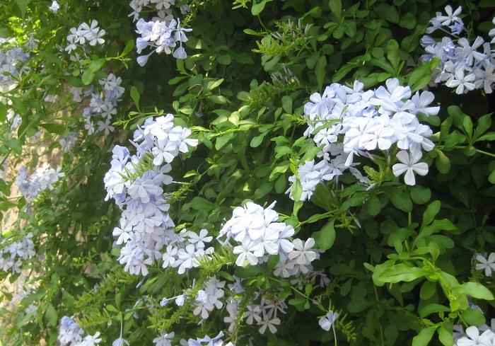 ルリマツリは、イソマツ科の半耐寒性常緑低木で、開花期は5月~10月です。別名プルンバゴとも呼ばれます。花色は、青紫と白があります。日当たりと風通しが良く、水はけの良い用土を好みます。  樹高は、50cm~1.5mです。半つる性なので、背が高くなってくると枝先が少し垂れてきます。支柱やトレリス、お庭の柵などにやわらかくよりそって育っている姿がよく見られます。