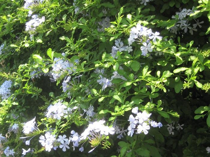 ルリマツリの花を次々と咲かせるためには、咲き終わった花がらを早めに取ることが大切です。はさみを使って、咲き終わった花の花首からこまめに摘み取りましょう。切るときは、新しい花芽が出てきている部分を見つけてその上の部分でカットすると、すぐに次の花が咲きます。  これから咲くつぼみを間違えてカットしないようにしましょう。  大きくなりすぎて困る場合は、枝をかなり短く切り詰めても大丈夫です。節々からよく芽を出してくれます。