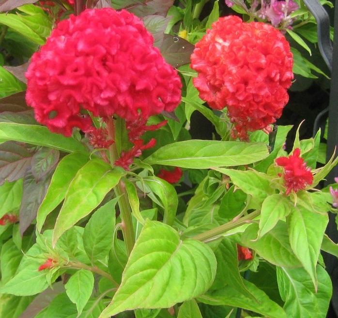 フワフワ、モコモコとした暖かな質感の花が特徴的です。ケイトウの名前は、花の形が鶏のトサカに似ていることから名づけられました。花の形や大きさ、色も多種多様で、茎が長いもの、短いものとあります。  カラフルな小さいケイトウをロウソクのようにたくさん咲かせた「ケーキ型の育てるケイトウ」もプレゼントに人気があります。