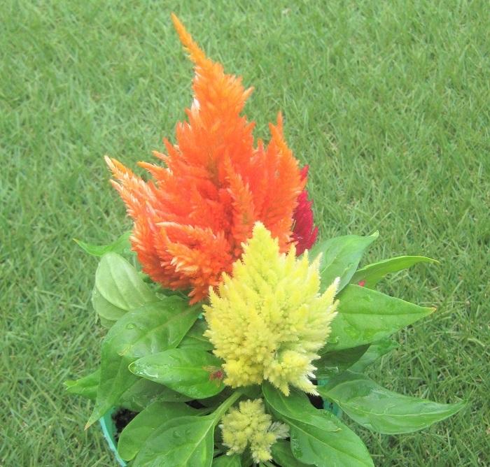 ケイトウは、ヒユ科の非耐寒性一年草です。5月から10月頃まで咲き、寒くなると枯れてしまいます。  日なたと水はけの良い用土を好み、真夏の炎天下でも咲き続ける丈夫な植物です。