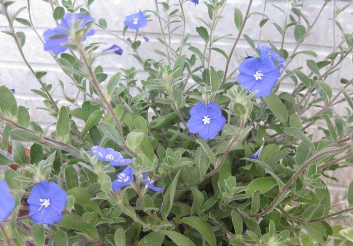 アメリカンブルーがあまり咲かなくて困っていませんか?  アメリカンブルーの花は枝の先のほうに咲くので、摘心や切り戻しをして枝数を増やしておかないと花があまり咲かなくなります。あまり咲かない場合や、ある程度伸びてきたら思い切ってカットすることをおすすめします。カットすることで枝数が増え、新しい枝に十分な栄養が行き、花が咲きやすくなります。株のバランスも良くなり、風通しも良くなりますよ。  アメリカンブルーは春から秋まで長い間花が咲くので、水溶性の肥料を月に2、3回、水やりを兼ねてあげることをおすすめします。