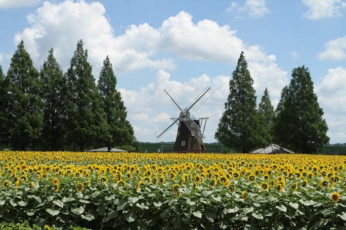 千葉県柏市にあるあけぼの山農業公園は、四季の花と農業とのふれあいを楽しめる公園です。体験プログラムが充実していて、みそ作り講座・ふれあい自然ウォーク・ミニ門松づくりなど年間通じてたくさんのイベントがあります。また桜・チューリップ・コスモスなどの名所でもあります。    ▼風車を背景に花畑が広がります。まるでヨーロッパの田舎町のような景観です。