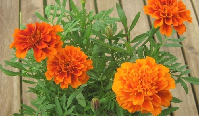 コンパニオンプランツとしても活躍するマリーゴールドは、とても丈夫で育てやすく、オレンジやイエローの大きな花が目立つのでお庭などを華やかに盛り上げる花として