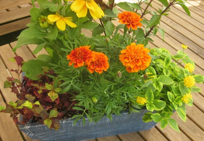 屋外の、日あたりと風通しの良い場所で育てましょう。  マリーゴールドは、花壇に地植えしたり、寄せ植え、ハンギングバスケットにも使えます。