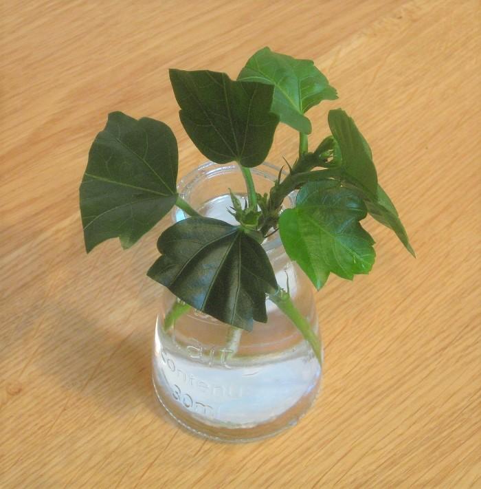 ハイビスカスの枝を2時間ほど水あげします。