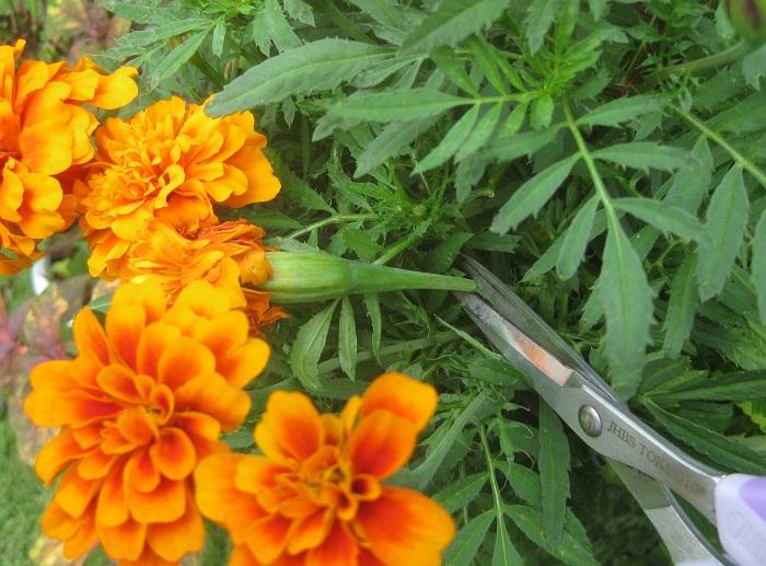 枯れた花をそのままにしておくと、花が雨で濡れた時に腐ってしまったり、種ができて栄養が次の花にいかなくなります。枯れた花はこまめにカットしましょう。