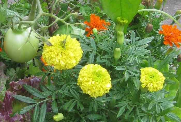 写真は、マリーゴールドとトマトなどの寄せ植えです。黄色いマリーゴールドはアフリカン、オレンジ色のマリーゴールドはフレンチです。