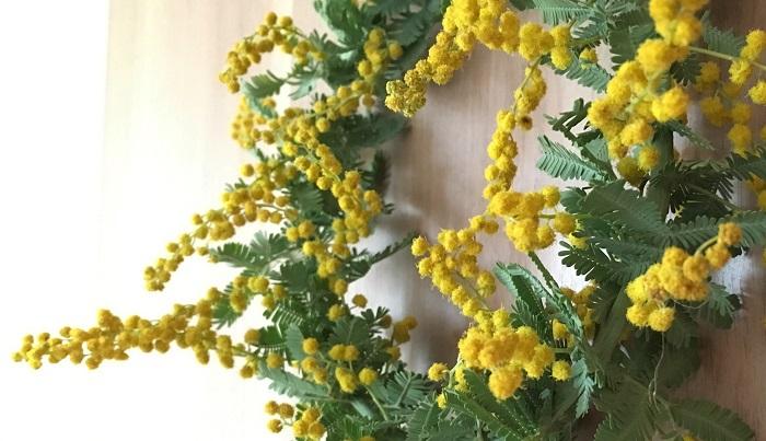 ミモザ  黄色の丸いポンポンの花が人気です。シーズンが来たらドライフラワー作っておくとシーズン外でもミモザを楽しめますね。