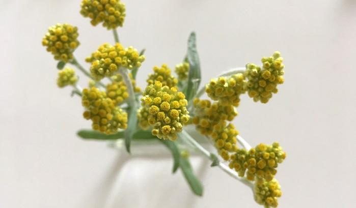ハハコグサ  黄色の小さな花が可愛い春の七草の一つ。