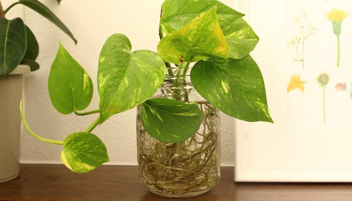 発根を待ちながら、お水を替えます。水差しの時のお水は悪くなりやすいため、最低でも2日に1回は交換するようにします。  うまく発根したポトスはどんどん根も伸び茎も葉も伸びます。根が伸びに伸びています。