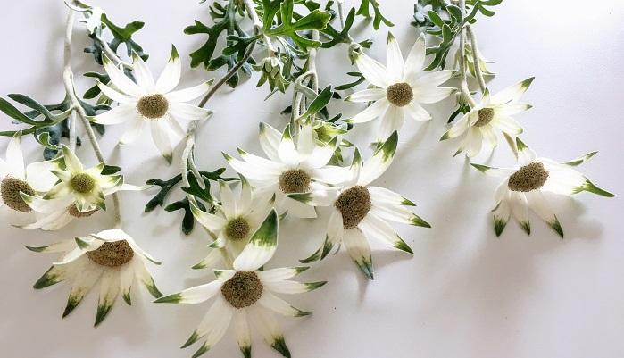 フランネルフラワー  茎も葉も花もふわふわの触り心地のフランネルフラワー。