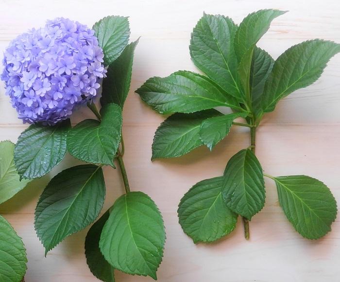 健康に育ち、勢いのある株から挿し穂をとります。今年花が咲かなかった枝、花が咲いた枝、どちらでも使えます。