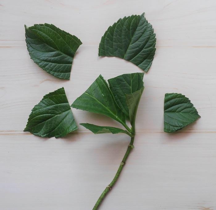 上の葉は、水分の蒸発を防ぐため、半分に切ります。