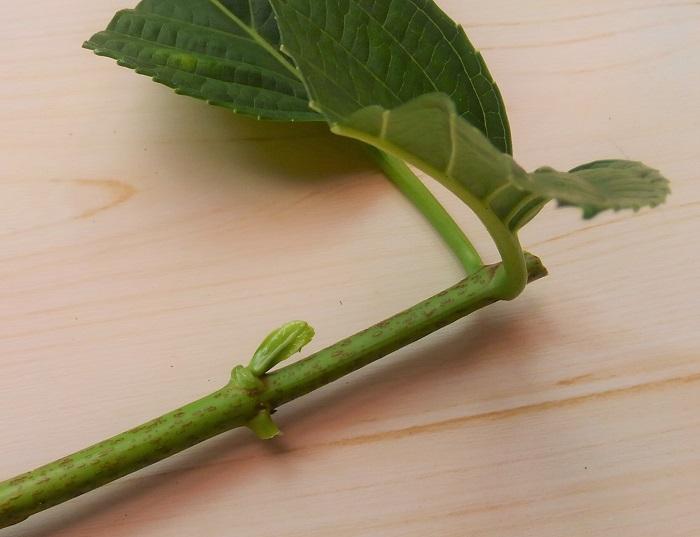 元気にわき目が出始めている枝を使うと成功しやすいです。