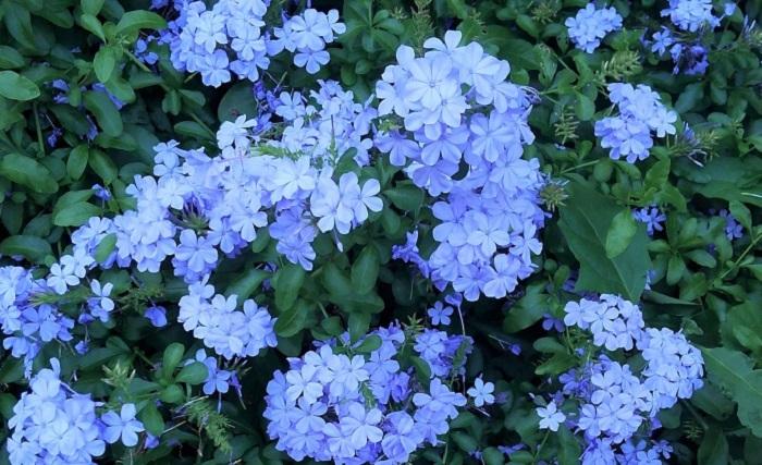 ルリマツリを育てる時に大切なポイントは4つです。このポイントをしっかりおさえて、ルリマツリの美しい花を次々と咲かせましょう。  1.日当たりのよい風通しのよい場所で育てましょう。  2.春~秋は土が乾いたらたっぷりお水をあげましょう。冬はやや乾燥気味に水やりをしましょう。  3.花が次々と咲く時期は、水やりを兼ねて液体肥料を週に1回程度施すか、緩効性肥料を月に1回程度あげましょう。  4.咲き終わった花は早めに取りましょう。